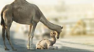 Baby Animal Camel Depth Of Field Wildlife 2560x1657 wallpaper