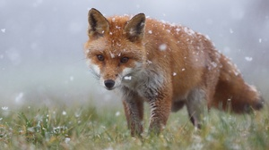 Fox Snowfall Wildlife 2560x1440 Wallpaper