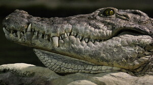 Animal Crocodile 3200x2000 Wallpaper
