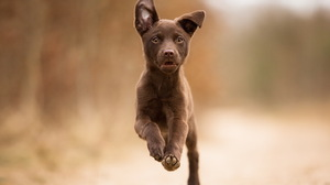 Bokeh Cute Dog Kelpie Puppy 2047x1303 wallpaper