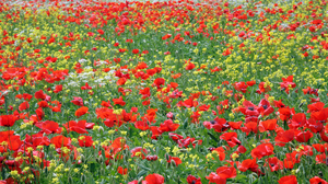 Flower Meadow Nature Poppy Red Flower Summer 4200x2800 Wallpaper
