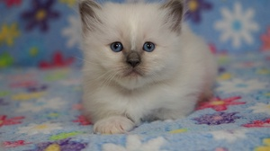 Baby Animal Cat Kitten Pet Stare 2200x1525 Wallpaper