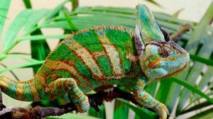 Chameleon Green Lizard Reptile Wildlife 3803x2430 Wallpaper