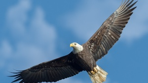 Animal Bald Eagle 2048x1483 wallpaper