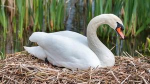 Bird Nest Swan 5249x3499 Wallpaper