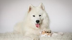 Dog Pet Samoyed 1920x1279 Wallpaper