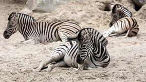 Animal Zebra 3840x2160 wallpaper