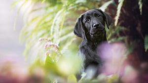 Dog Labrador Retriever Pet 2048x1365 Wallpaper