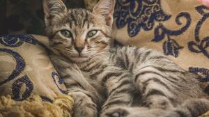 Cat Pet 1920x1280 Wallpaper