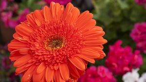 Flower Gerbera Macro Nature Orange Flower 2048x1483 wallpaper