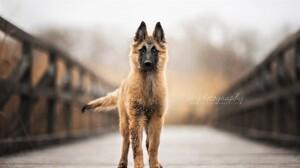 Animal Dog German Shepherd 1920x1080 Wallpaper
