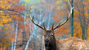 Animal Elk 2560x1600 Wallpaper