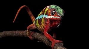 Branch Chameleon 2047x1360 Wallpaper
