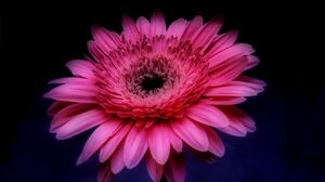 Flower Close Up Pink Flower 1680x1050 Wallpaper