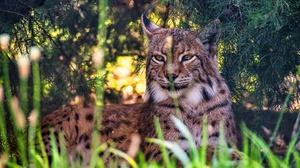 Big Cat Lynx Wildlife Predator Animal 2880x1920 wallpaper
