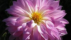 Dahlia Earth Flower Pink Flower 2048x1686 Wallpaper