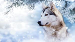 Dog Husky Pet 1920x1080 Wallpaper