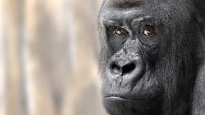 Close Up Face Gorilla Monkey Primate 2048x1258 Wallpaper