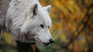 White Wolf Wildlife Wolf Predator Animal 2048x1365 Wallpaper