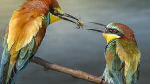 Animal Bee Bee Eater Bird Colorful 1920x1280 Wallpaper