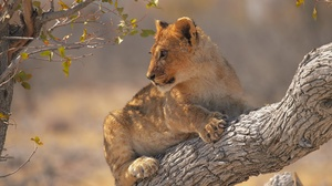 Big Cat Wildlife Baby Animal Cub 2400x1598 Wallpaper
