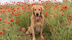 Dog Labrador Retriever Pet Poppy Red Flower 3745x2500 Wallpaper