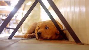 Depth Of Field Dog Golden Retriever Pet Resting 2048x1152 Wallpaper