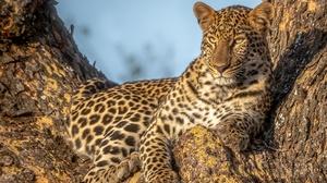 Big Cat Leopard Wildlife Predator Animal 2724x1816 wallpaper
