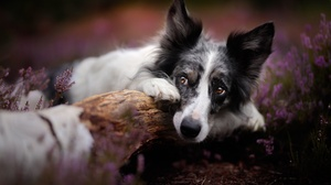 Heather Dog Pet 2048x1365 Wallpaper