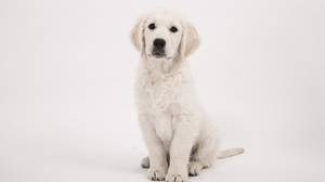 Baby Animal Dog Golden Retriever Pet Puppy Sitting 5351x3567 Wallpaper