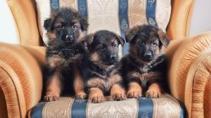 Animal Dog German Shepherd Puppy 3000x1986 Wallpaper