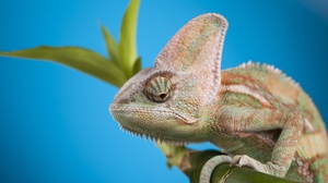 Chameleon Lizard Reptile 5616x3744 Wallpaper