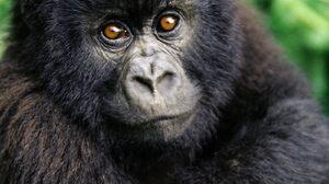 Animal Gorilla 1600x1200 Wallpaper