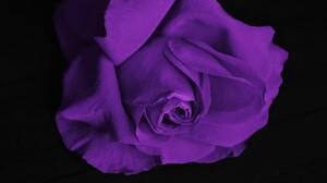 Flower Purple Flower Purple Rose Rose 4928x3264 Wallpaper