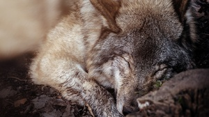 Wildlife Predator Animal Close Up Sleeping 2048x1365 Wallpaper