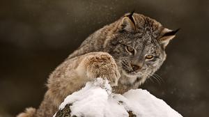 Lynx Snow Winter 1920x1440 wallpaper