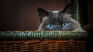 Cats Animals Mammals Baskets Animal Eyes Looking At Viewer Blue Eyes Indoors 2000x1125 Wallpaper