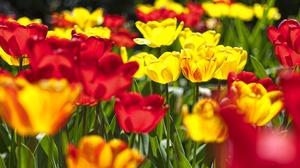 Flower Nature Red Flower Summer Tulip Yellow Flower 2880x1760 Wallpaper