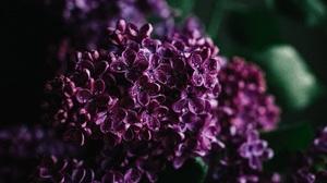 Nature Flowers Water Drops Closeup Purple Flower Plants 1920x1280 Wallpaper