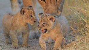 Animal Lion 2400x1602 Wallpaper