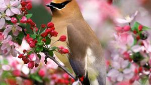 Animal Bird Cedar Waxwing Branch Spring Blossom 1600x1200 Wallpaper