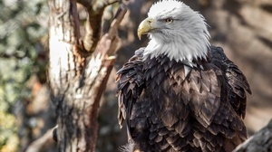 Bald Eagle Bird Bird Of Prey Eagle 2560x1600 wallpaper