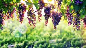 Depth Of Field Fruit Grapes Sunny 7680x4277 Wallpaper