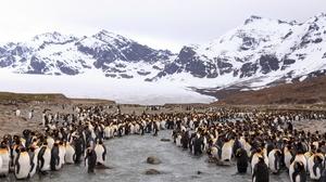 King Penguin Mountain Penguin Wildlife 2047x1211 Wallpaper