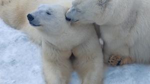 Polar Bear Wildlife Predator Animal 2557x2160 Wallpaper