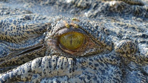 Animal Close Up Crocodile Eye Reptile 1920x1333 Wallpaper