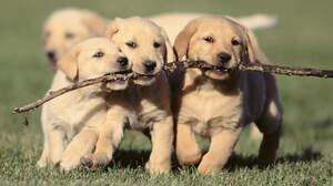 Dog Golden Retriever Pet Puppy 1984x1114 Wallpaper