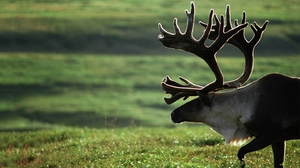 Animal Elk 1440x810 Wallpaper