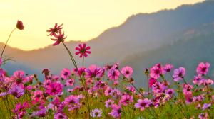 Cosmos Earth Flower Pink Flower 3310x2000 Wallpaper