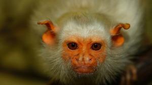 Close Up Eye Face Marmoset Monkey Primate Wildlife 1920x1280 Wallpaper